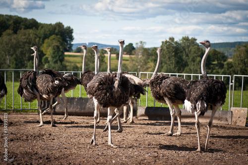 Stickers pour portes Autruche Ostriches on farm