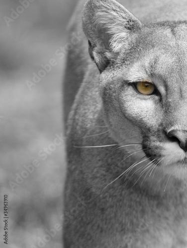 Foto op Plexiglas Puma Puma