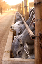 A Herd Of Brahmans At Feeding Time With Selective Focus