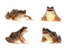 Photo Set Of Common European Frog