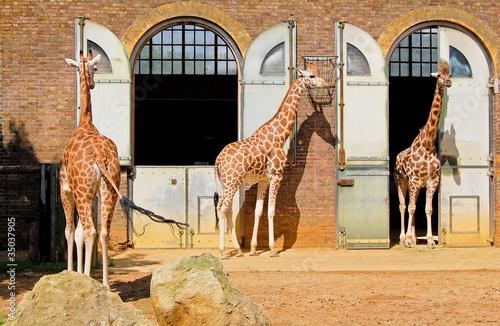 Fotografie, Obraz  Giraffes in the London Zoo at Regent Park
