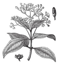 Cinnamomum Verum Or True Cinna...