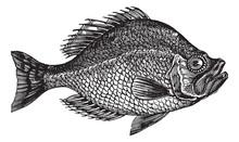Centrarchus Aeneus Or Rock Bass Fish Vintage Engraving