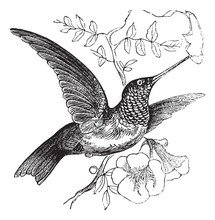 Ruby-throated Hummingbird Or Archilochus Colubris Vintage Engrav
