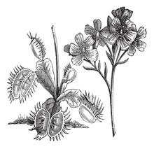 Venus Flytrap Or Dionaea Muscipula, Vintage Engraving