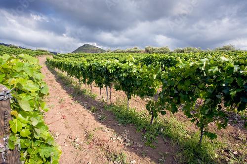Poster Wijngaard vineyard on gentle slope in Etna region, Sicily
