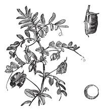 Cultivated Lentil (Lens Ervum), Vintage Engraving