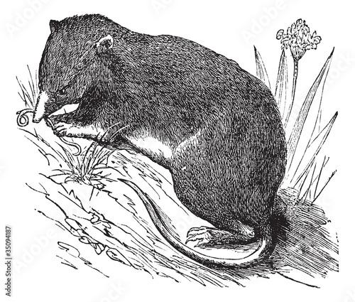 Fotografie, Obraz  Common Shrew or Eurasian Shrew or Sorex araneus, vintage engrave