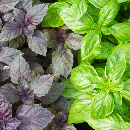 Fototapeta Fresh green basil leaves close-up obraz