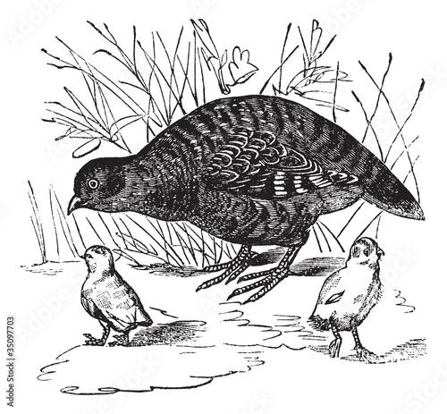 Obraz na płótnie Grey Partridge or Perdix perdix, vintage engraving