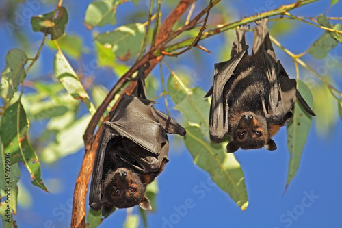 Fotografie, Obraz  Black flying-foxes, Kakadu National Park, Australia
