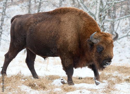 Bison Canvas-taulu
