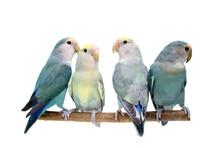 Four Peach-faced Lovebirds