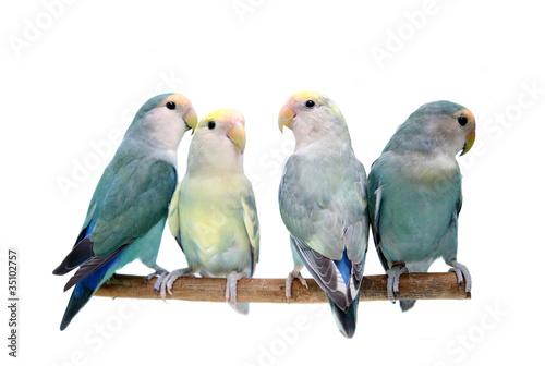 Four peach-faced lovebirds Canvas Print