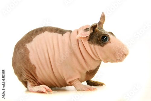 фотографія  Hairless Guinea Pig isolated on white
