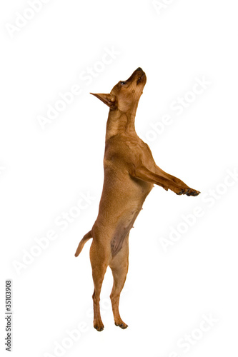 Aluminium Prints Deer The dwarfish pinscher costs. Isolation on the white