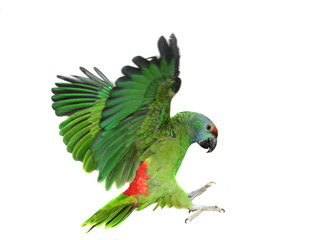 Fototapeta Flying festival Amazon parrot on the white background