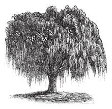 Babylon Willow Or Salix Babylonica Vintage Engraving