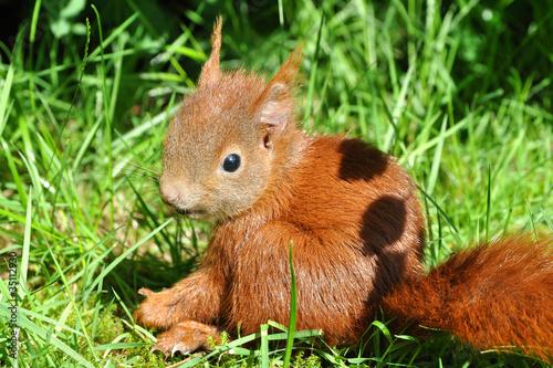 Fotoposter Eekhoorn Eichhörnchen