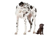 canvas print picture - Big Dog Small Dog