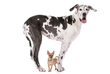 Great Dane HARLEQUIN And A Chi...