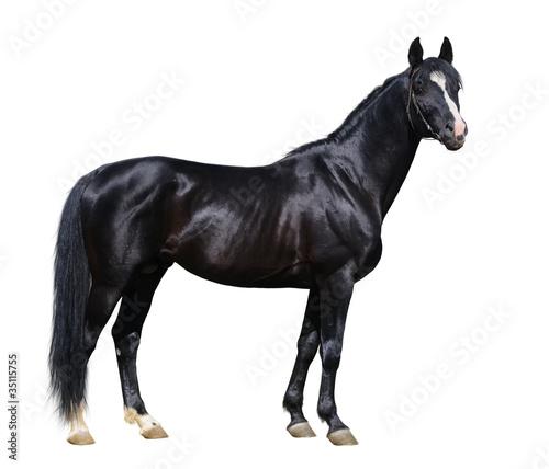 Black Trakehner stallion looking at camera