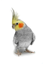 Cockatiel Parakeet 4 Years Old (female)