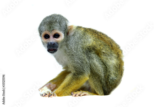 Foto op Canvas Aap Squirrel monkey on the white background