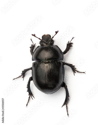 Fototapeta Dor beetle