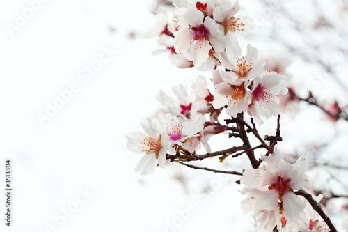 Stickers pour portes Fleur de cerisier almond blossom