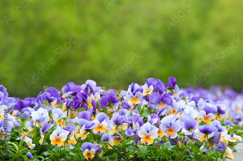 Foto op Plexiglas Pansies Purple and white pansies