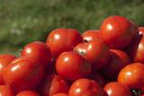 Fototapeta Fototapety do kuchni - pomidory