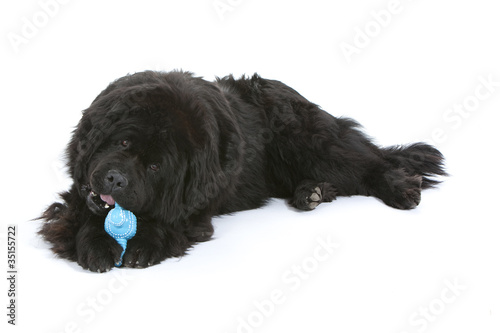Photo  terre neuve mordillant son jouet