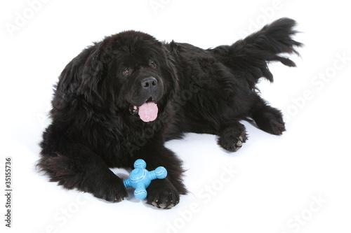 Photo  terre neuve allongé avec son jouet entre les pattes