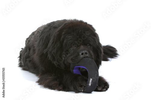 Photo  terre neuve mordillant son jouet pour chien