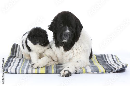 Photo  terre Neuve et son chiot sur leur tapis