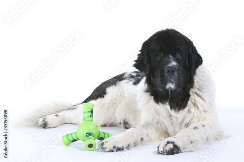 Photo  Terre Neuve avec ses jouets