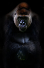 Portrait Of Gorilla