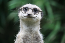 Lächelndes Erdmännchen Mit Brille