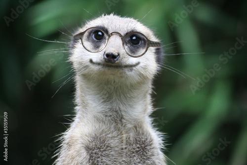 Fotografie, Obraz  lächelndes Erdmännchen mit Brille