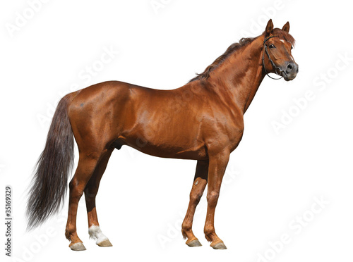 Foto op Canvas Paarden Sorrel Don stallion isolated on white