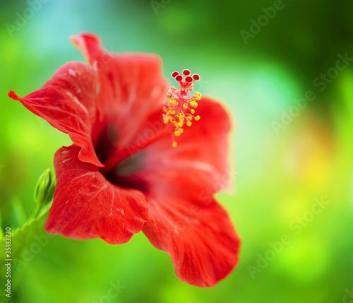 kwiat-hibiskusa-plytkie-dof