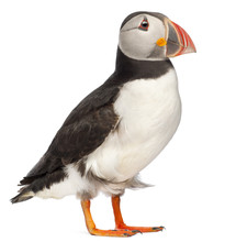 Atlantic Puffin Or Common Puff...