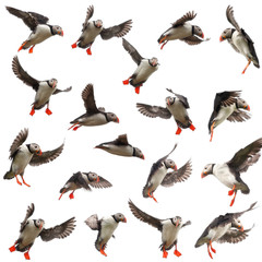 Collection of Atlantic Puffin or Common Puffin