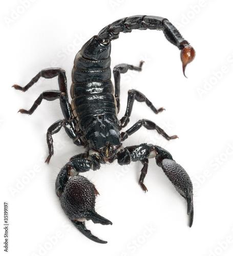 Emperor Scorpion,  Pandinus imperator, 1 year old