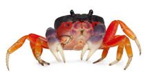 Red Land Crab, Gecarcinus Quad...
