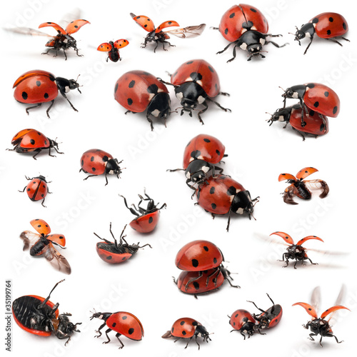 Photo  Collection of Seven-spot ladybirds, Coccinella septempunctata