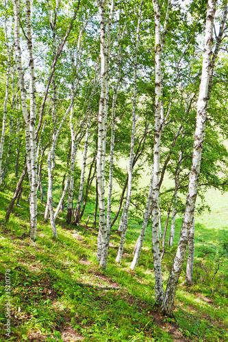 Foto op Aluminium Berkbosje white birch forest landscape