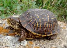 Baby Ornate Box Turtle, Terrep...