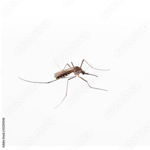 In de dag Tijger mosquito